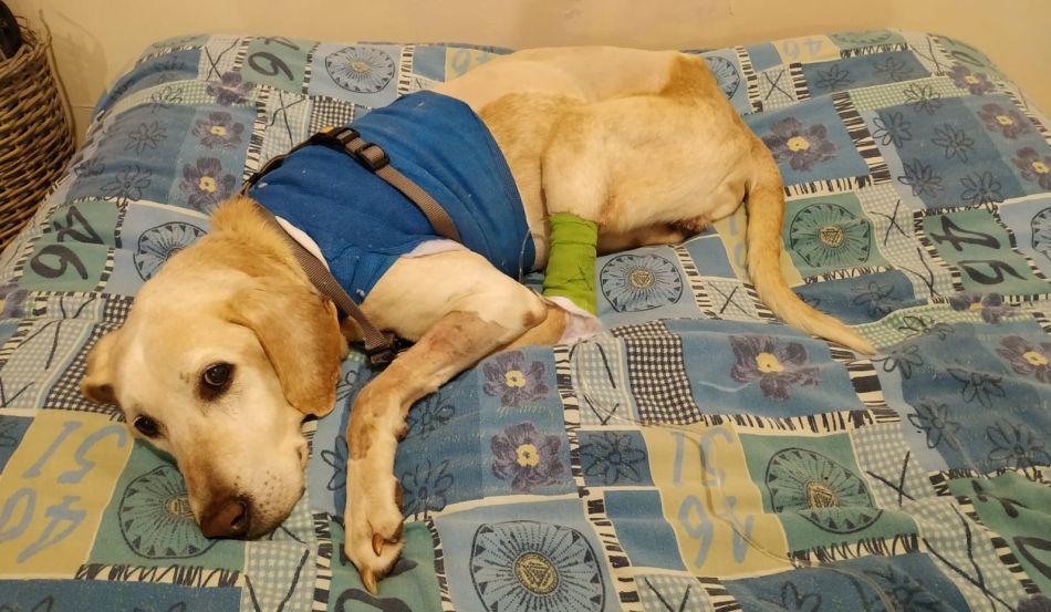 בולי לברדור כלב צילום דוברות עיריית ראשון לציון